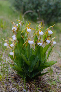 Columbia-Hybrid-Frauenschuh (Cypripedium x columbianum)