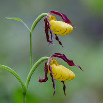 Cypripedium parviflorum var. makasin