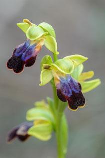 Mesara-Ragwurz (Ophrys iricolor ssp. mesaritica)
