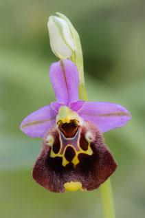 Vergessene Hummelragwurz (Ophrys holoserica ssp. oblita)