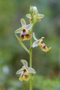 Bianca-Ragwurz (ophrys biancae)