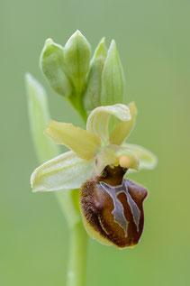 """Ophrys sphegodes """"argentaria"""""""
