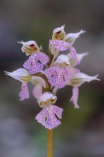 Milchweißes Knabenkraut (Neotinea lactea)
