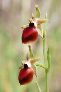 Ophrys helenae, typische Ausprägung