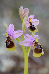 Wespen-Ragwurz (Ophrys tenthredinifera s.l.)