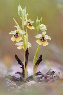 Lacaitas Ragwurz (Ophrys lacaitae)
