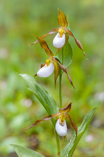 Berg-Frauenshuh       (Cypripedium montanum)