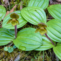 Cypripedium micranthum