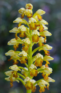Punktiertes Knabenkraut (Orchis punctulata)