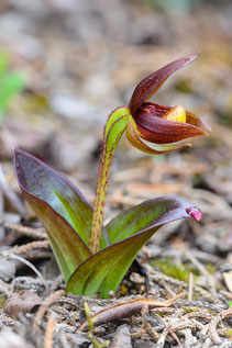 Cypripedium bardolphianum