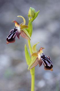Ariadne-Ragwurz (Ophrys cretica ssp. ariadnae)