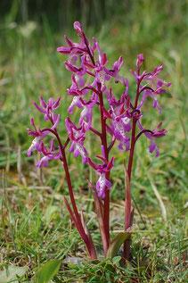 Sitia-Knabenkraut (Orchis sitiaca)