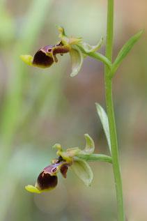 Isaurische Ragwurz (Ophrys isaura)
