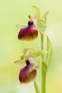 Ophrys helenae mit Ansatz von Malzeichnung