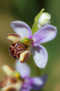 Schulzes Ragwurz (Ophrys schulzei)