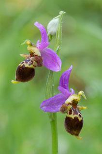 Heldreichs Ragwurz (Ophrys heldreichii)
