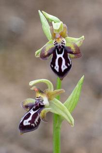 Kretische Ragwurz (Ophrys cretica ssp. cretica)