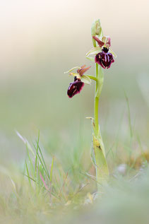 Ophrys passionis ssp. garganica