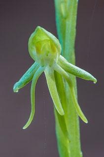 Kanarenstendel (Habenaria tridactylites)