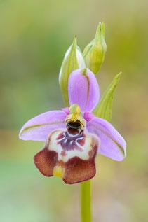 Prächtige Schnabel-Ragwurz (Ophrys calliantha)