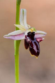 Antalya-Ragwurz (Ophrys antalyensis)