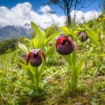 Cypripedium tibeticum
