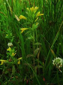 Gelbe Bartsie (Parentucellia viscosa) (Foto: Wolfgang Voigt)