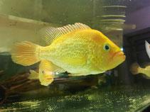Petenia splendida gold, Raubbarsche, Buntbarsche,  Cichlasoma, Parachromis, Flowerhorn, Acarichthys heckelii, Petenia splendida gold,