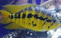 Managua Buntbarsche, Parachromis, Cichlasoma managuensis GOLD Paar, Raubbarsch, Buntbarsch, loisellei, salvini, Kronoheros umbriferus