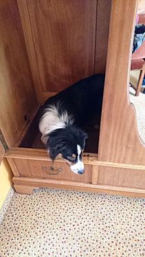 """Mojo hat einen Bettwanzenbefall am Schrank erschnüffelt und """"friert ein"""" um somit den Befall anzuzeigen."""