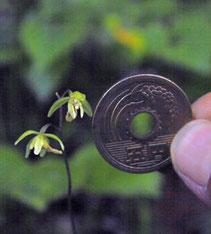 #7 コイチヨウラン 五円玉との大きさ比較