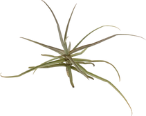 Tillandsia reichembachii