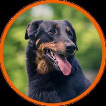 L'Arche d'ury élevage de chien Beaucerons