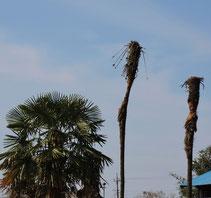 棕櫚の手入れ