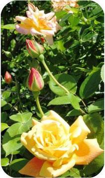 gelber Rosenstrauch