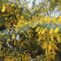 何の木 黄色い花