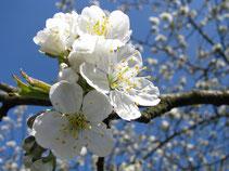 Foto: (K. Geilen) Kirschblüten