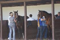 Renn-Pferde in der Sattel-Box