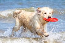 Hund im Meer mit Frisbee im Maul