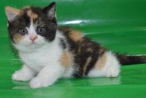 Британский котенок редого окраса