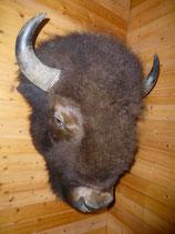 Kopfpräparat Bisonbulle