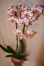 Phalenopsis Orchidee exklusiv zweifarbig