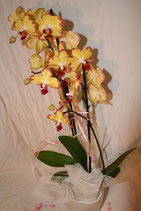 Phalenopsis Orchidee standard