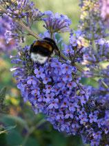 Schmetterlingsflieder für jeden Geschmack