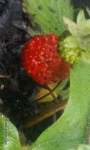 Fragaria vesca (L.) - Wald-Erdbeere - Fraisier des bois - Fragola di bosco - Wild strawberry