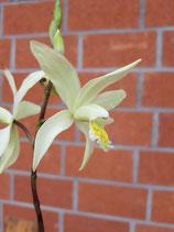 Bletilla ochracea / Japanorchidee
