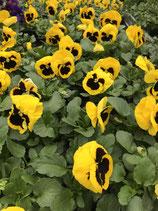 Viole - Farbe: Gelb mit Auge