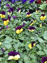 """Viole """"Hänge oder Bodendecker"""" - Farbe: Violett/Gelb"""