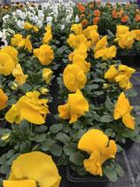 Viole -Farbe: Gelb ohne Auge