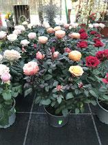 Zwerg- Rose